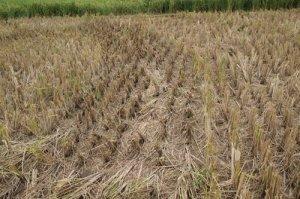 Terlihat padi setelah dipanen, akar padi terhilat tetap berbeda antara akar padi normal dan akar padi yang rebah. Buatan manusia?