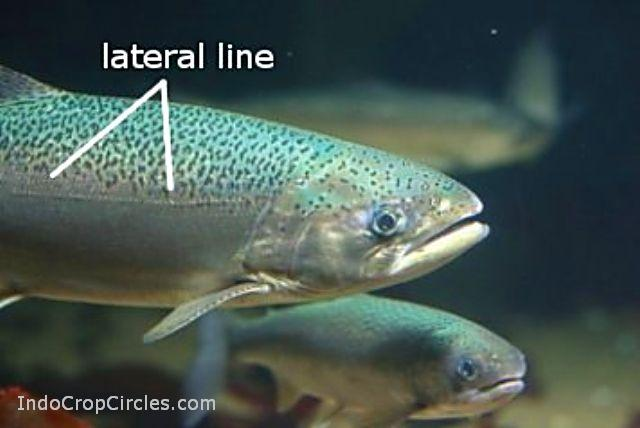 ikan lateral line trout