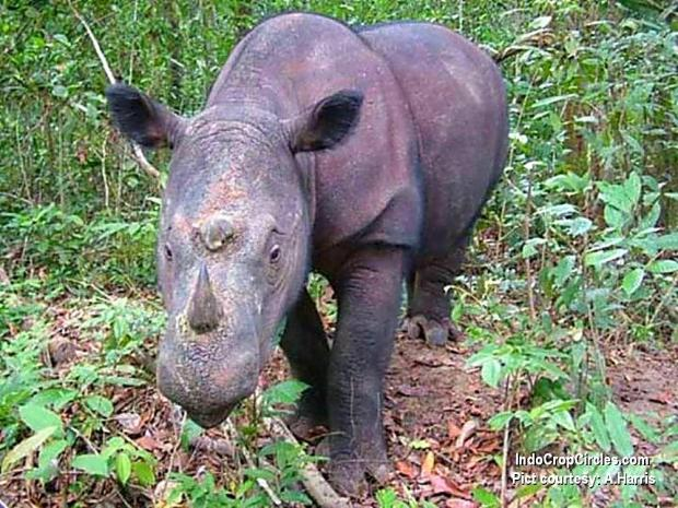 Populasi Badak Sumatra (Diceros sumatrensis) semakin menyusut. Kini hanya ada 100 ekor di alam liar Indonesia dan 9 lainnya di penangkaran. (pict: A.Harris)