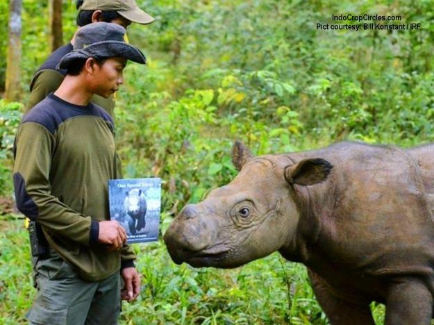 Andatu, si badak Sumatera yang berhasil dilahirkan dalam penangkaran di Indonesia. Ia sedang melihat buku ceritanya. (Bill Konstant IRF)