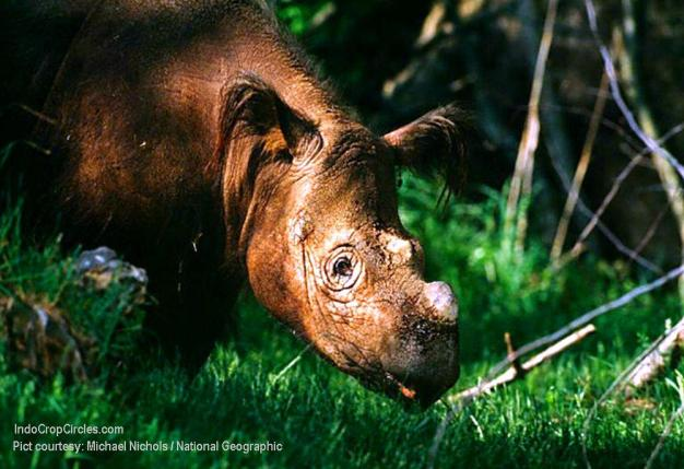 Sumatran Rhinos (Pict courtesy: Michael Nichols / National Geographic)