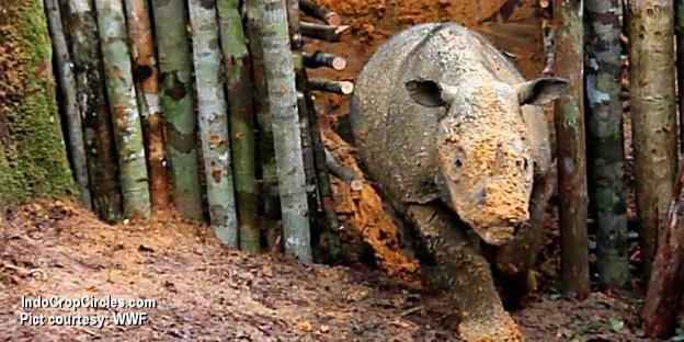 Foto yang dirilis oleh WWF Indonesia pada 23 Maret 2016, menunjukkan badak Sumatera (Dicerorhinus sumatrensis) di suaka Kutai, Kalimantan Timur. Para pecinta lingkungan telah melakukan kontak fisik dengan badak ini untuk kali pertama setelah lebih dari 50 tahun tak pernah ditemukan. (Pict courtesy: WWF).