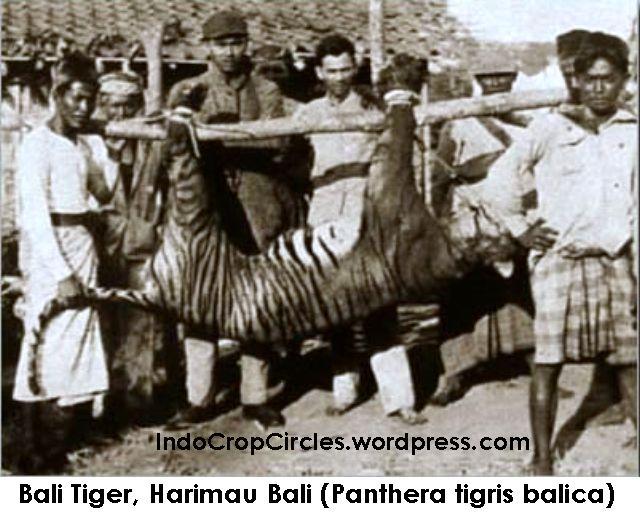 bali tiger harimau bali