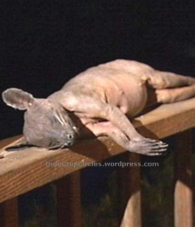 Hewan misterius yang diduga Chupuchabra berhasil ditembak oleh warga Kentucky, USA (foto: dailymail)