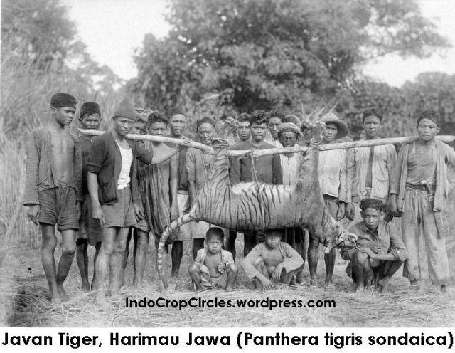 harimau jawa Javan Tiger