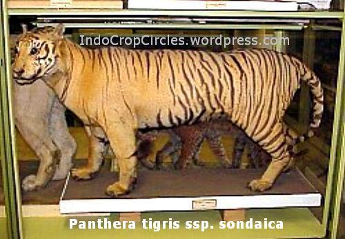 Panthera tigris sondaica, Harimau Jawa, Javan Tiger1825