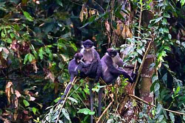 Grizzled Borneo Langur (Langur Abu-Abu). Pict: Eric Fell