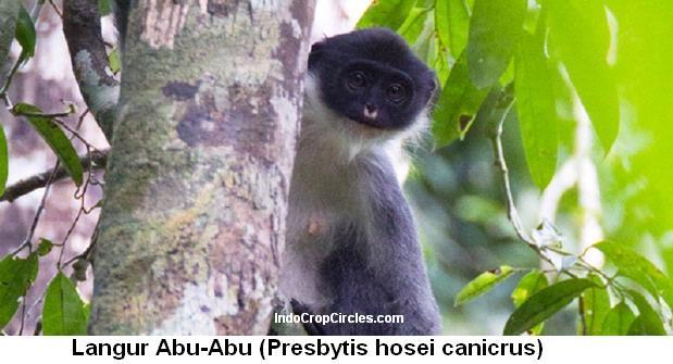 monyet-borneo-langka