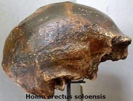 homo erectus soloensis