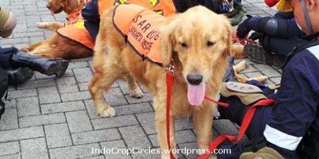 Goldie anjing Golden Retriever-saksi-pencarian-kotak-hitam-sukhoi-superjet-100