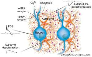 Astroglia astrocytes