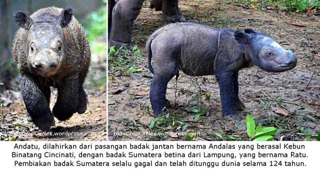 Andatu anak badak sumatera