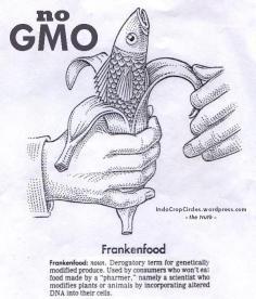 gmo corn 3