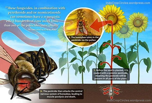 bee neonicotinoid lebah gmo corn 03