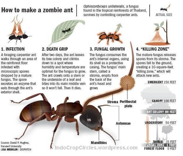 cordyceps-zombie ants