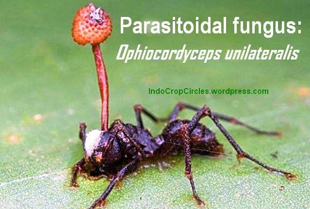 Jamur Cordyceps fungus header