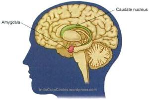 otak brains Amigdala