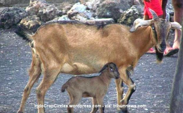 Kambing betina milik Ambrosius Garda melahirkan seekor anak kambing jantan dan seekor ular, Selasa (29/4/2014) pagi, di Desa Oebelo, Kupang Tengah, Kabupaten Kupang.