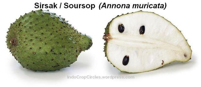 sirsak Soursop, Annona_muricata