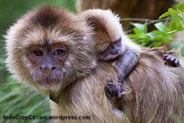 capuchins Marina-Chapman