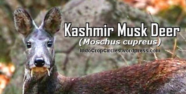 Kashmir musk deer (Moschus cupreus) HEADER