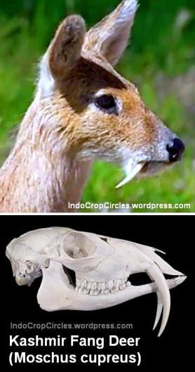 rusa bertaring fang deer kashmir 001
