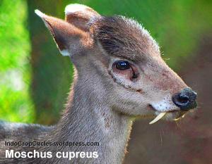 rusa bertaring fang deer kashmir 002