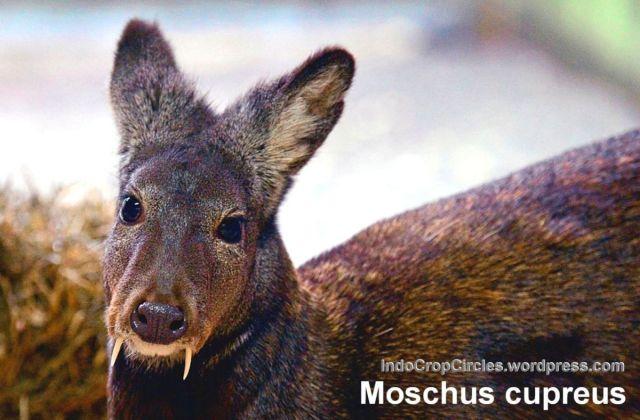 rusa bertaring fang deer kashmir 003