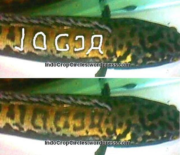ikan toman tulisan Jogja dan DIY tulisan kanan