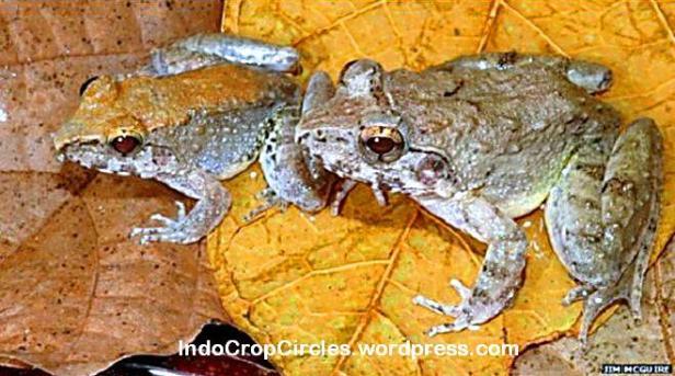 Spesies baru ini ditemukan di Pulau Sulawesi di Indonesia; katak jantan (kiri) dan betina (kanan)