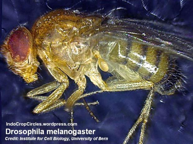 Drosophila Melanogaster lalat buah azot_InstitutZellbiologie