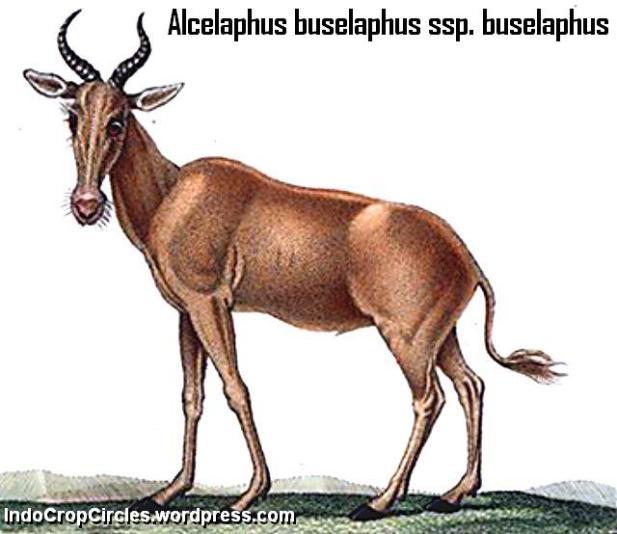 Alcelaphus_buselaphus_buselaphus
