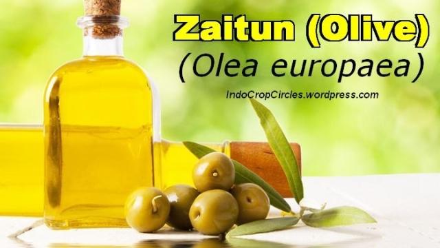 buah dari minyak zaitun obat kanker