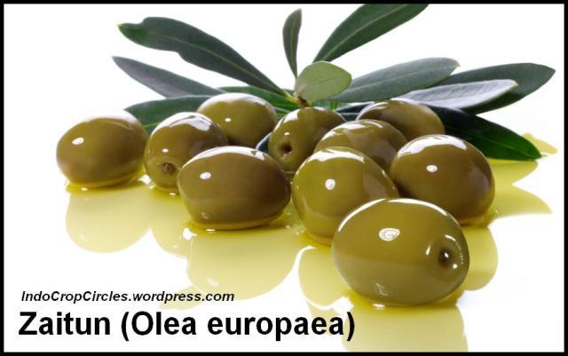 buah-minyak-zaitun
