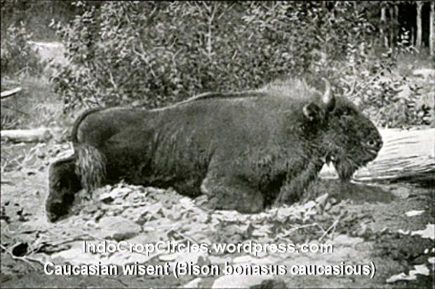 Caucasian Bison - Demidoff 1898
