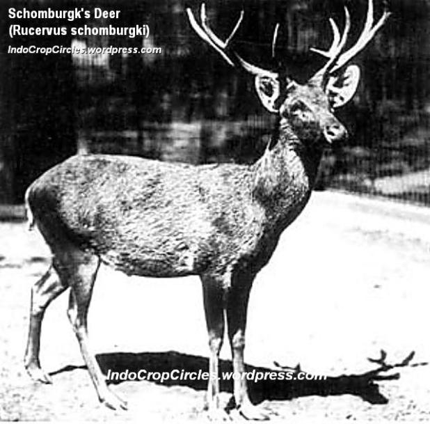 Schomburgks Deer - Berlin1911