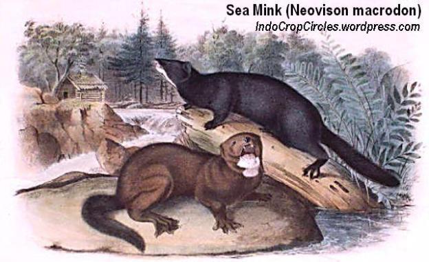 sea mink (Neovison macrodon)