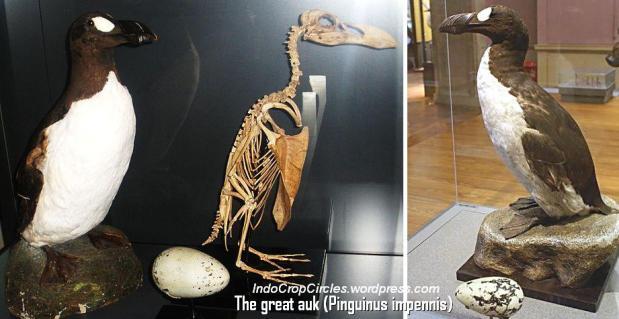The great auk (Pinguinus impennis)