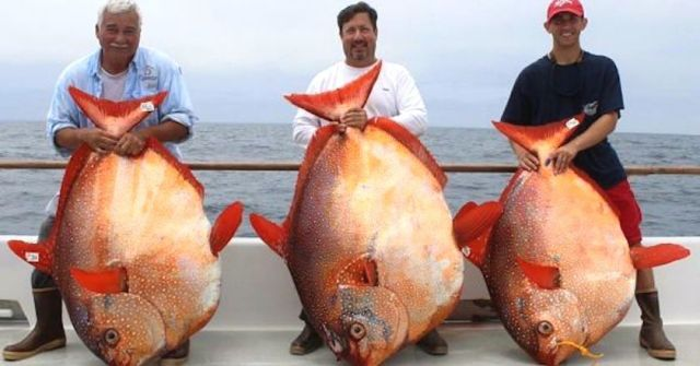 opah fishes, also called moonfish