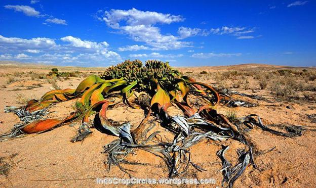 Tumbuo (Welwitschia mirabilis)