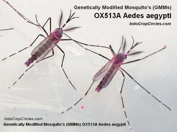 Adult male OX513A Aedes aegypti mosquitoes dusted with fluorescent powder (pink colour.