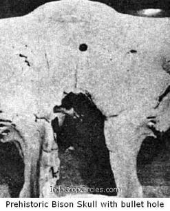 tengkorak Prehistoric Bizon Skull with bullet hole 2