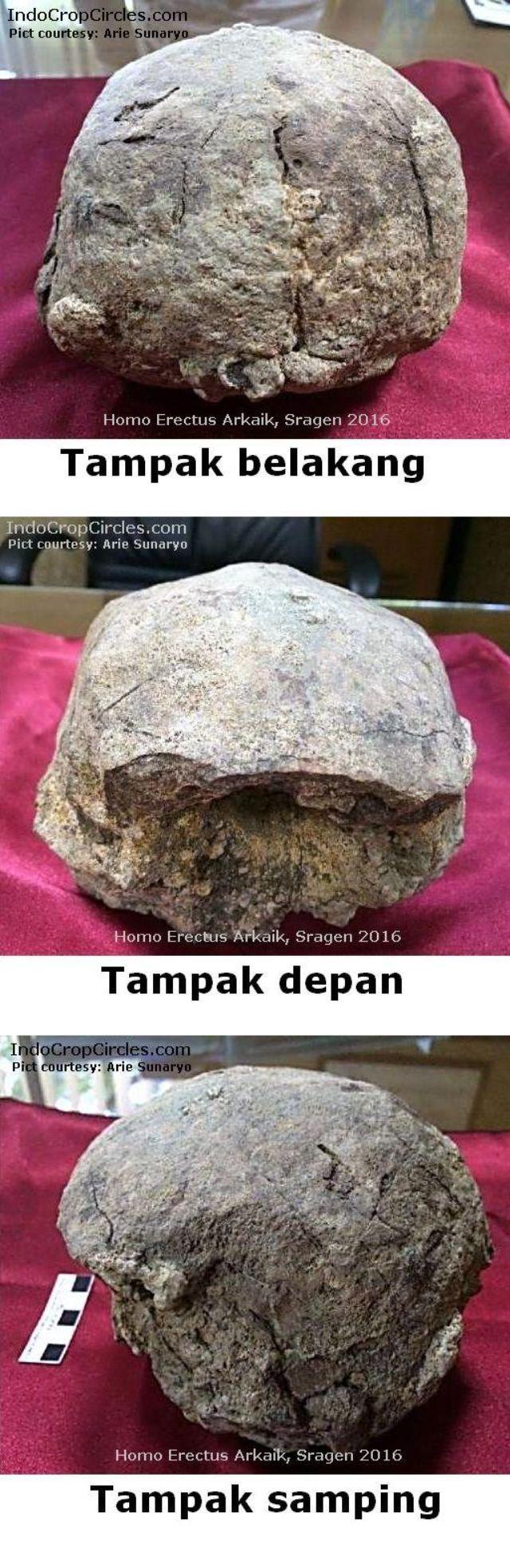 fosil-tengkorak-homo-erectus arkaik-di-sragen Indonesia all