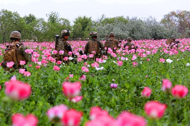 Bunga Opium (Poppi) di Afghanistan. Tampak pasukan AS-NATO sedang berada ditengah poppi opium.
