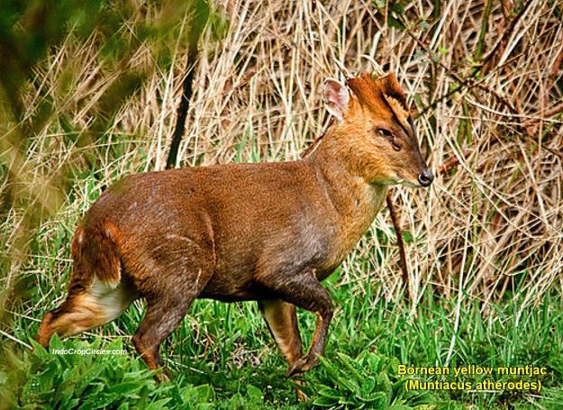 Bornean yellow muntjac (Muntiacus atherodes) / Muncak Kuning Kalimantan / Kijang Keemasan Kalimantan (pict: freeland.org)