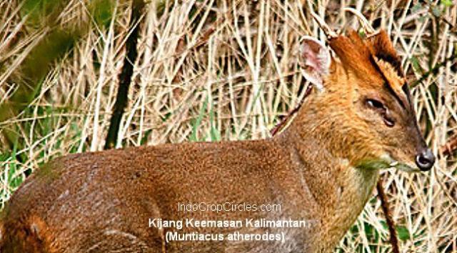 Kijang Muncak_Kuning_Kalimantan header