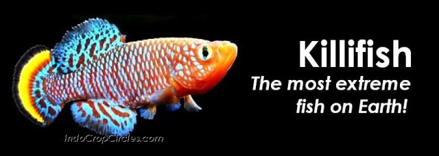 killifish-anti-toxic-fish-header