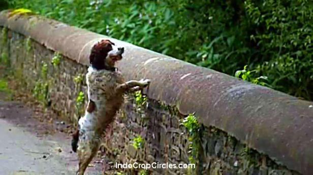 Anjing bernama Hendrix yang pernah selamat dari percobaan bunuh diri, nampak tertarik oleh sesuatu ketika berada di atas jembatan Overtoun.