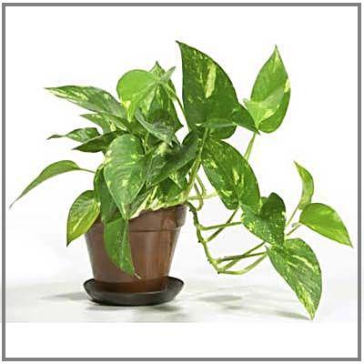 Yuk Tanam Inilah 22 Tumbuhan Yang Diyakini Berenergi Positif