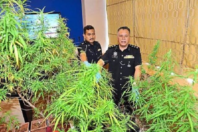 Polisi Diraja Malaysia ditengah tanaman ganja yang penanamannya akan dillegalkan untuk warganya untuk penggunaan medis.